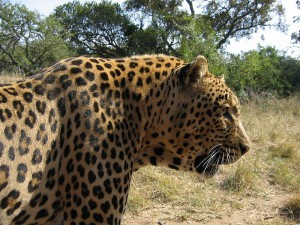 Beautiful African Leopard