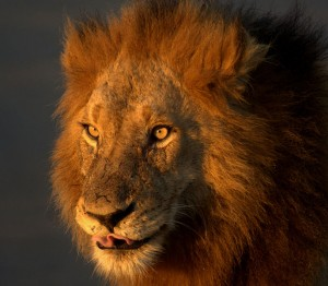 A Lion is an Icon of African wildlife
