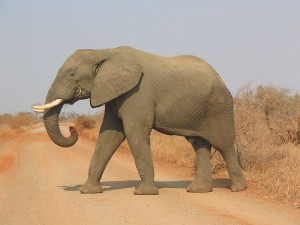 Elephant in the Kruger